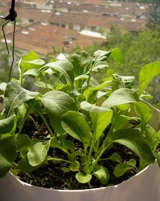 basics-for-growing-arugula-in-containers