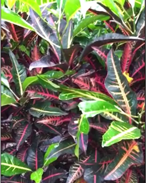 caring-for-croton-rushfoil