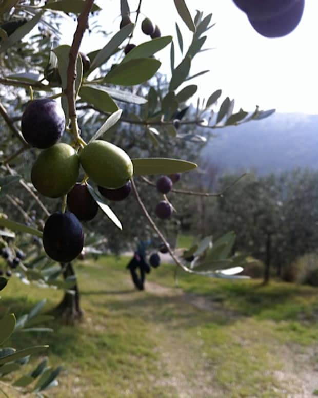 how-to-care-for-olive-trees