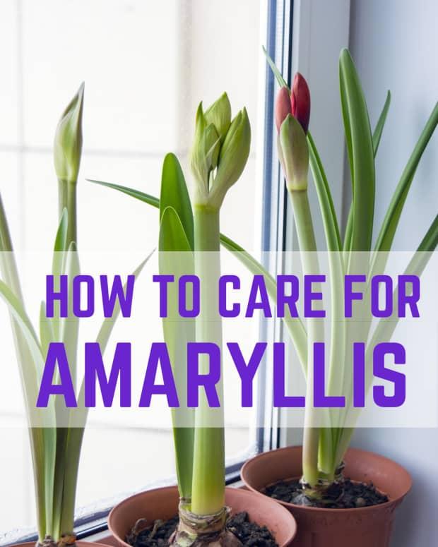 amaryllis-care