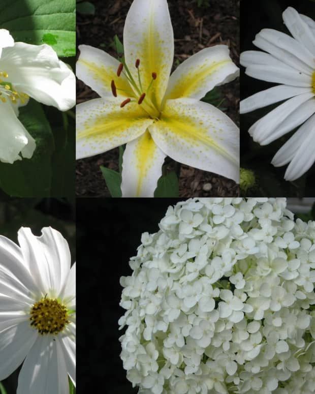 photo-gallery-white-flowers-in-the-garden