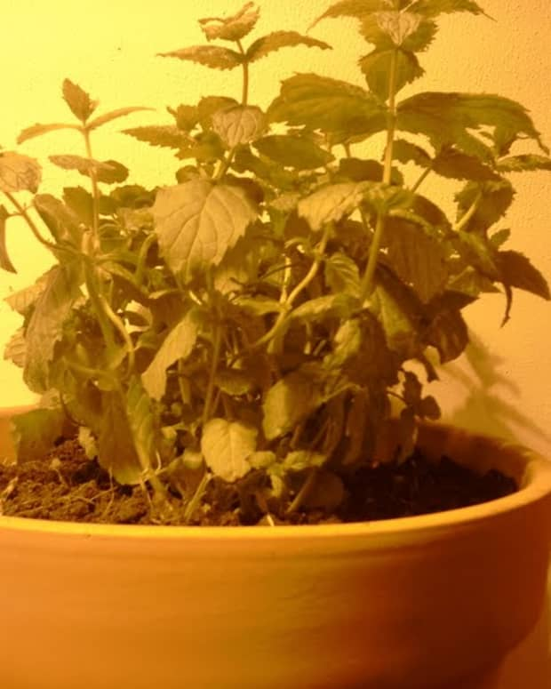 how-to-grow-mint-indoors