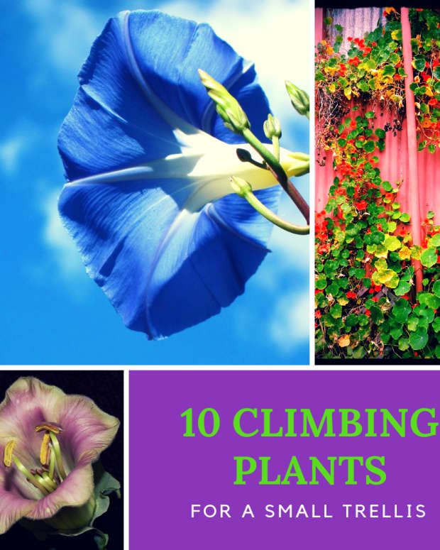 top-10-climbing-plants-for-a-small-trellis