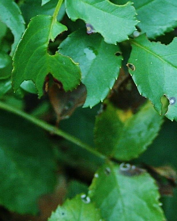 black-spot-on-roses-prevention-treatment