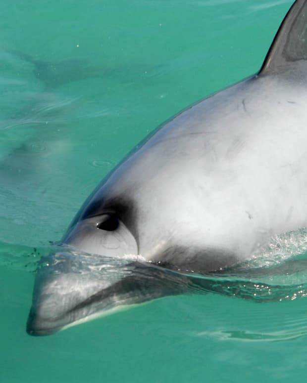 two-endangered-dolphins-of-new-zealand-facts-and-protection