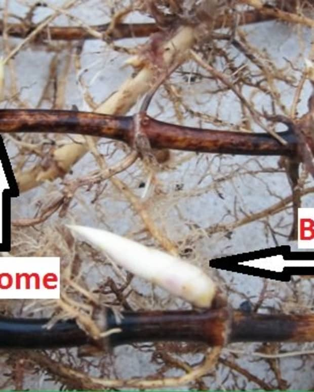 how-to-grow-bamboo-cuttings