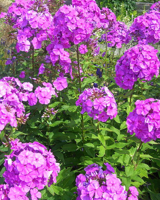 how-to-grow-phlox-paniculata