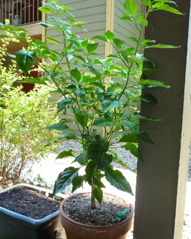 pepper-plant-blossom-drop