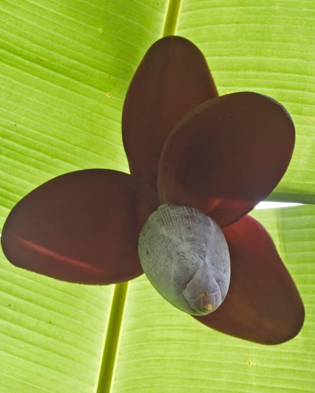 plantain-tree