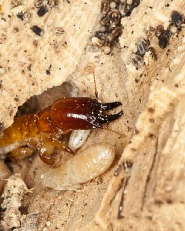 how-to-get-rid-of-termites-yourself
