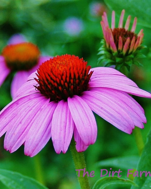 how-to-grow-purple-coneflower