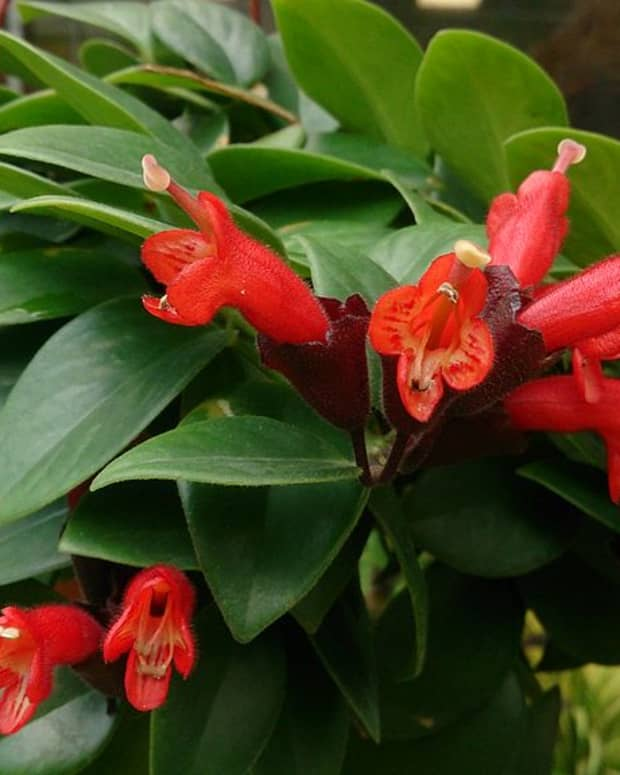 how-to-grow-lipstick-plant