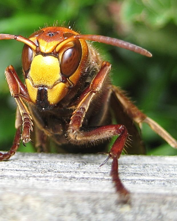 interesting-facts-about-hornets-large-wasps-with-paper-nests