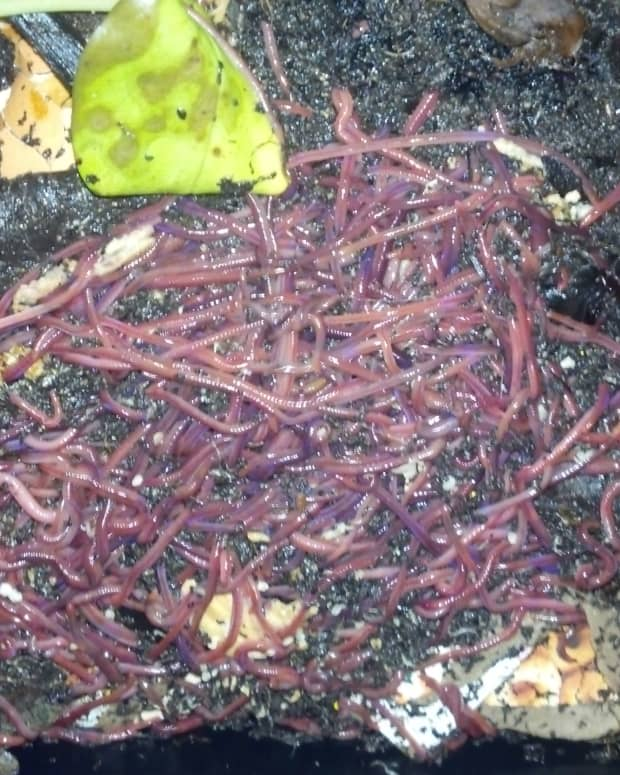 what-to-do-if-your-vermicomposting-worms-are-trying-to-escape