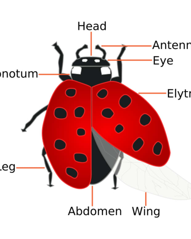 ladybugs-facts