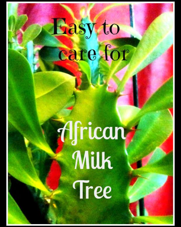 euphorbia-trigona-african-milk-tree