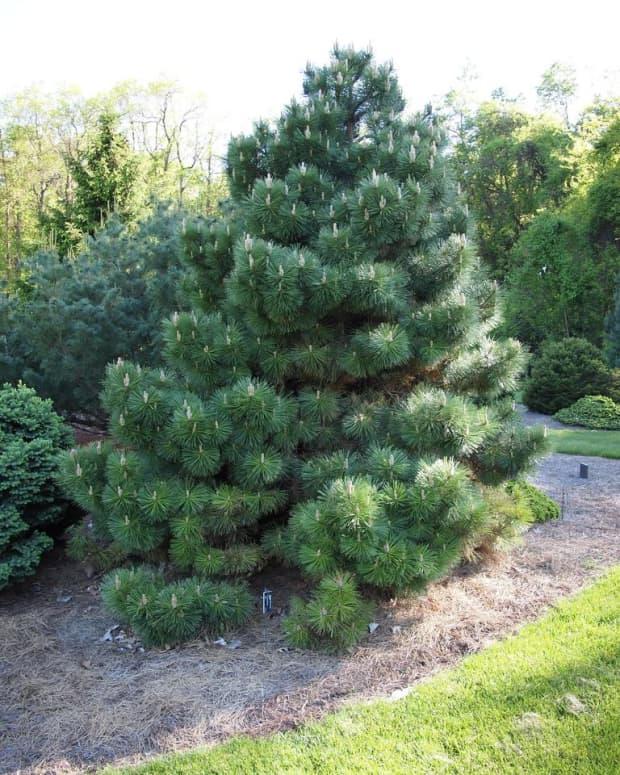 how-to-grow-austrian-pine-pinus-nigra