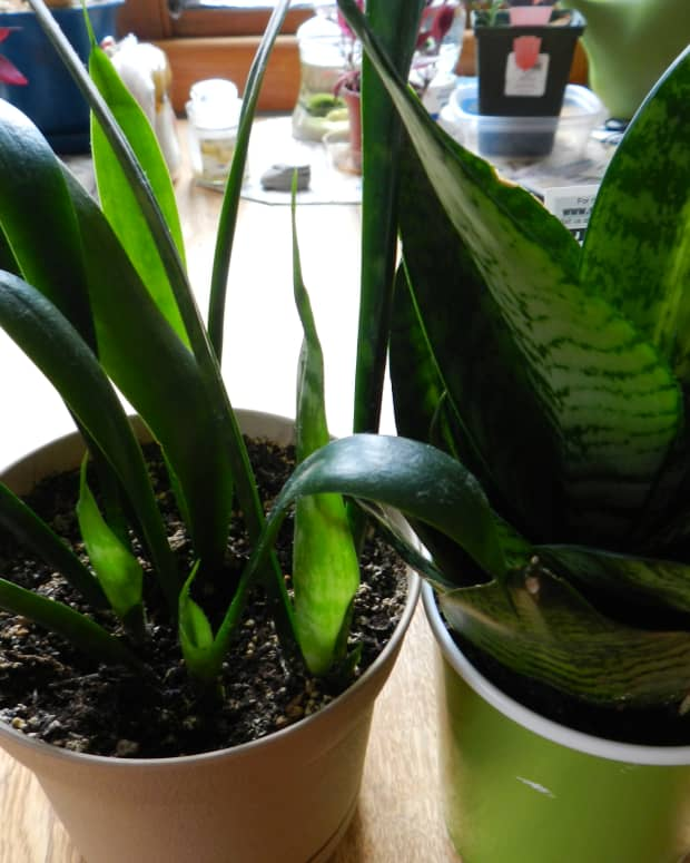 snake-plant-care