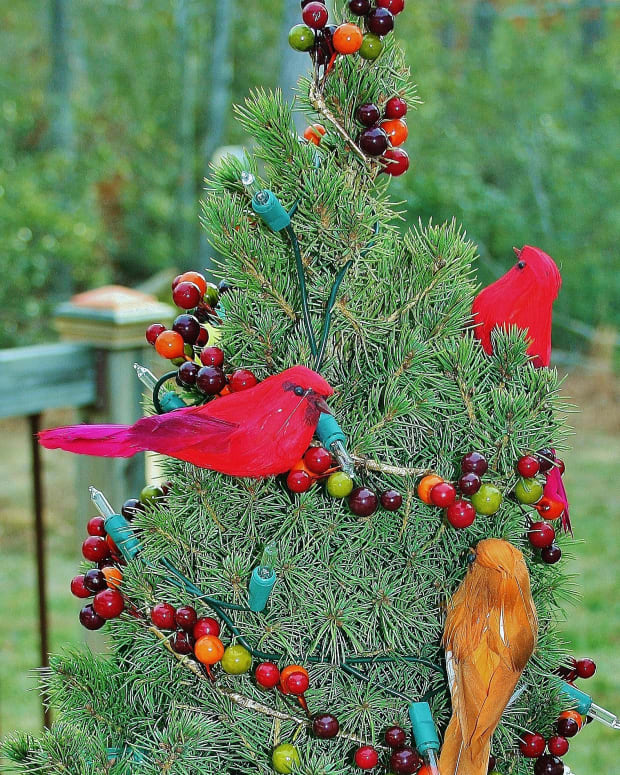 how-to-plant-a-miniature-christmas-tree
