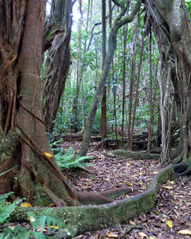 hidden-hawaii-kalopa-native-forest-state-park-and-recreation-area-on-the-big-island