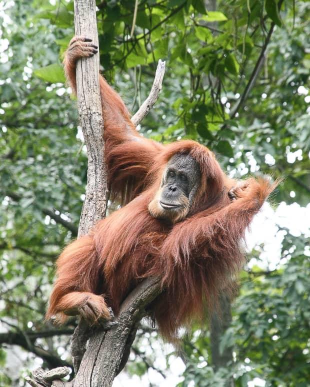 how-to-help-endangered-orangutans