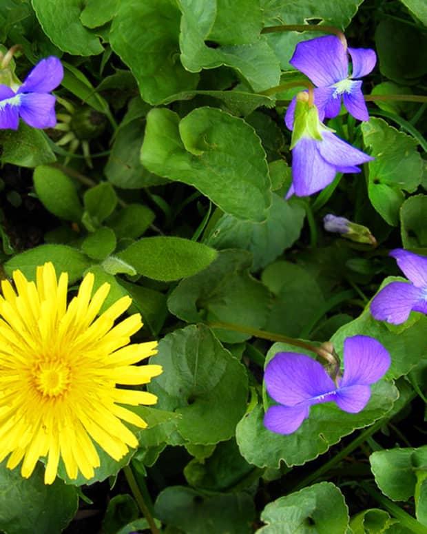 wild-violet-and-dandelion-bath-tea-recipe