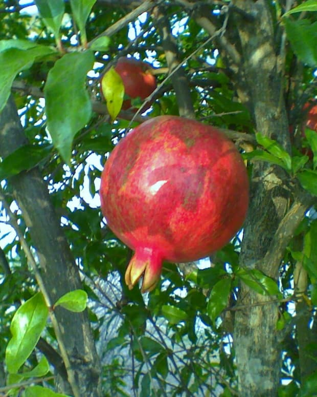 how-to-grow-pomegranate-trees