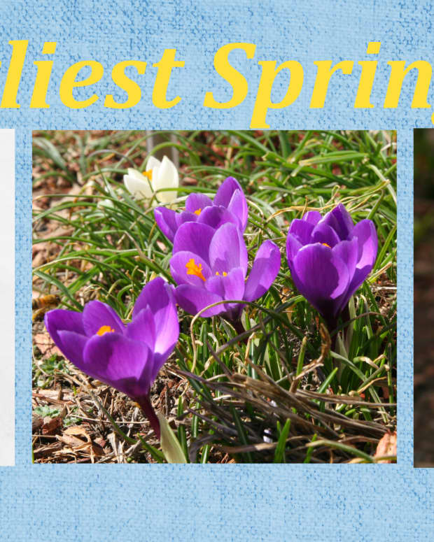 earliest-blooming-spring-bulbs
