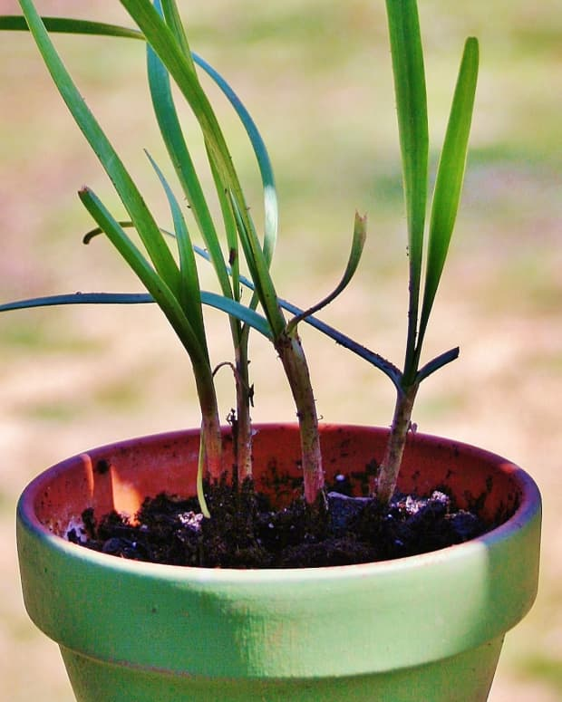 potting-chives