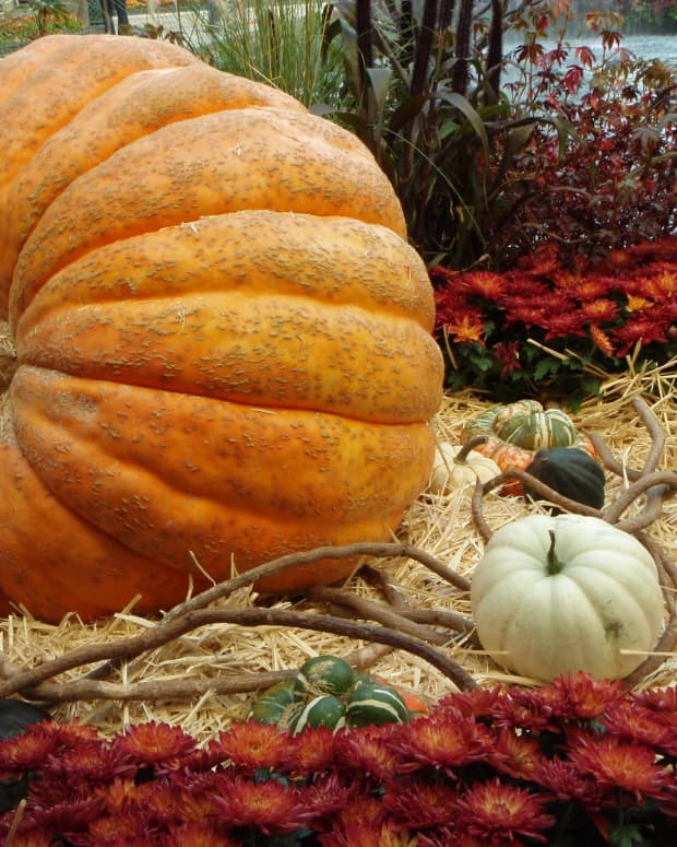 how-to-grow-big-pumpkins