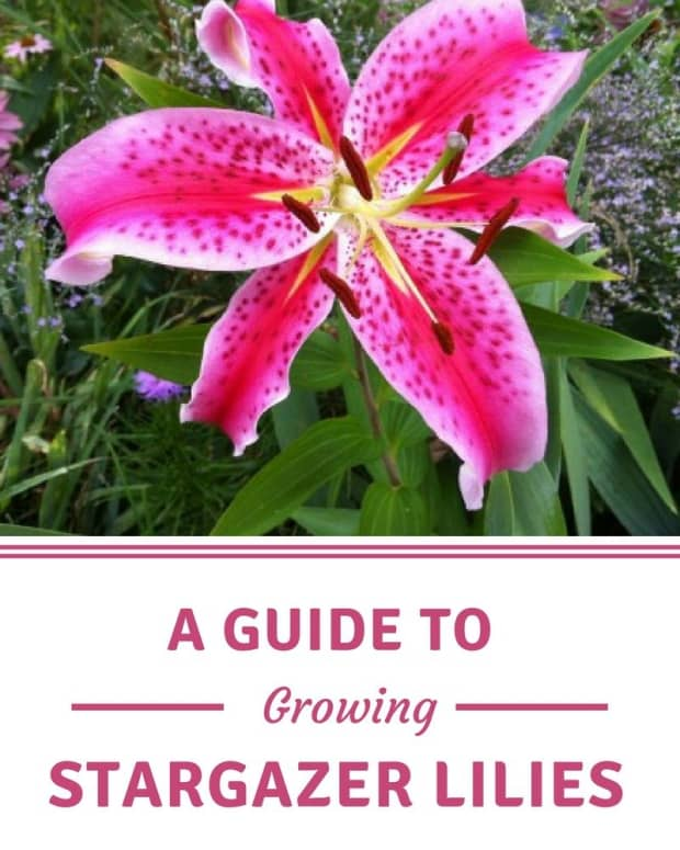 guide-to-growing-stargazer-lilies
