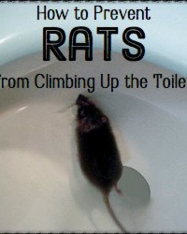 how-to-deal-with-a-rat-swimming-up-the-toilet-bowl