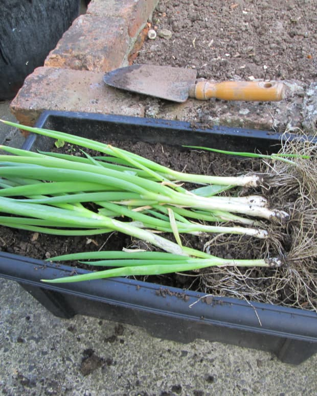 how-to-grow-scallions-spring-onions-in-containers-garden-gardening-recipes-coleslaw-potato-salad-seeds-planting