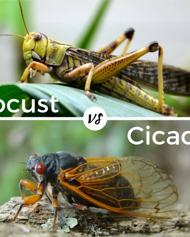 is-there-a-difference-between-a-cicada-and-a-locust