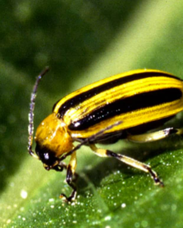 controlling-cucumber-beetles-organically