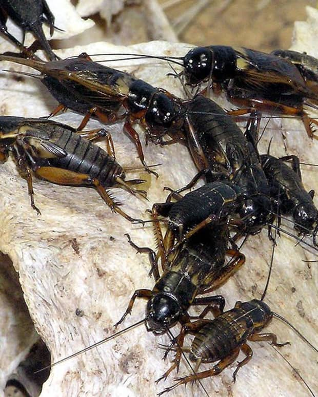 how-to-get-rid-of-crickets-inside-your-home