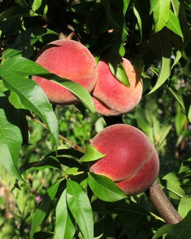 grow-a-peach-tree-from-seed