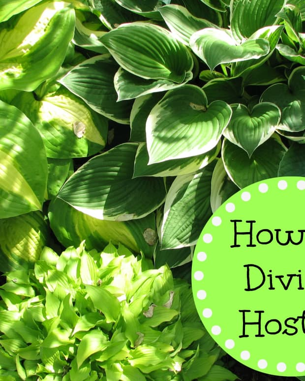 how-to-divide-hostas