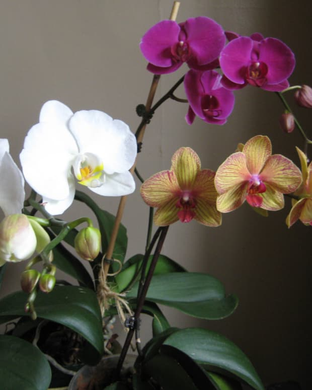 phalaenopsis-the-easiest-orchid-for-beginners