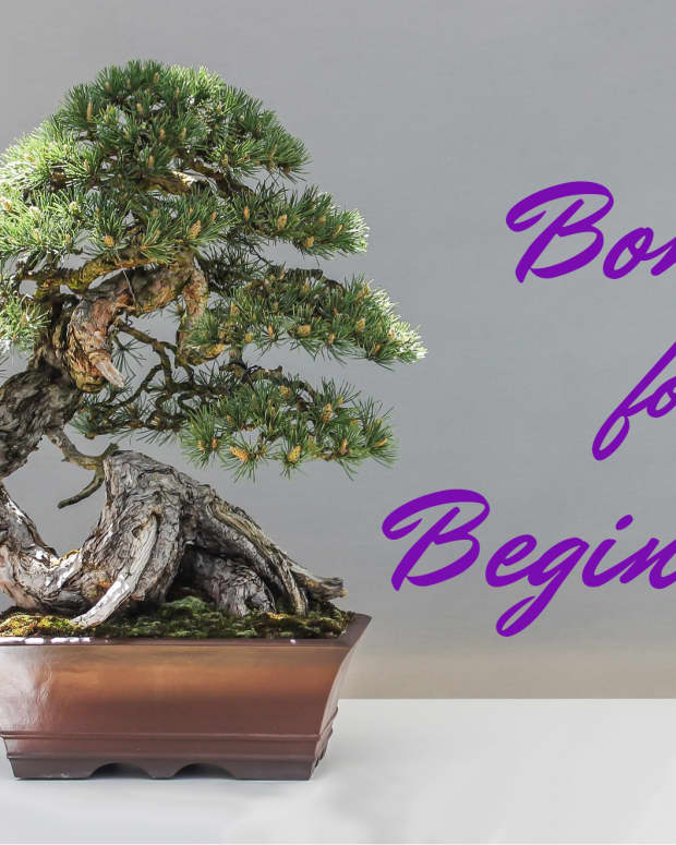 a-beginners-guide-to-bonsai