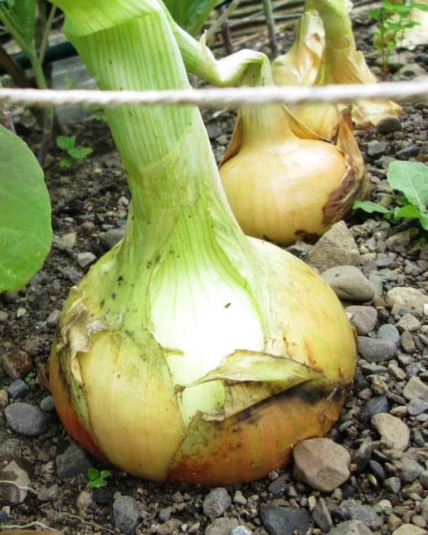 how-to-grow-onions-in-a-small-garden-growing-plant-onion-sets-gardening-vegetables-planting-recipes