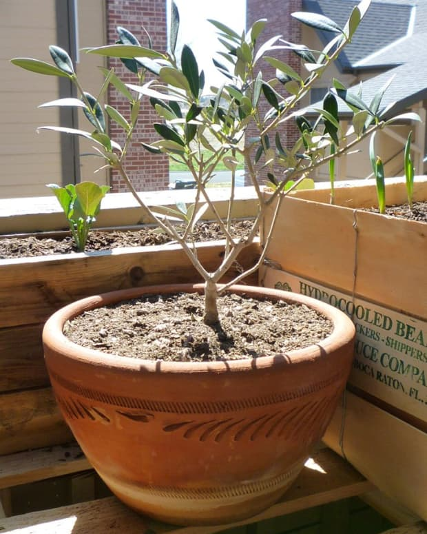 growing-olive-trees-in-containers