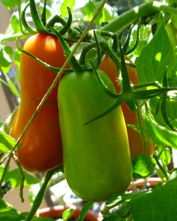 growing-san-marzano-tomato-plants