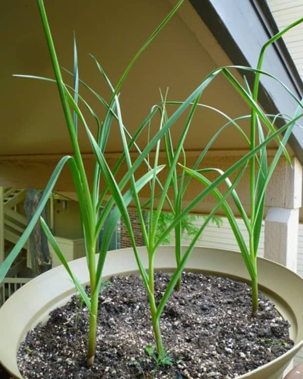 how-to-grow-garlic-in-a-pot