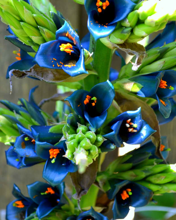 the-rare-and-fantastic-puya