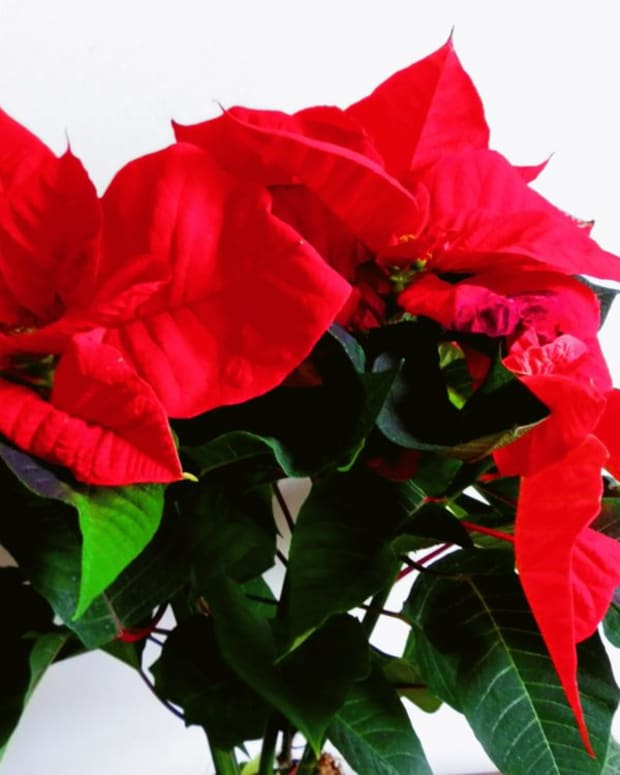 why-do-poinsettias-die-after-christmas