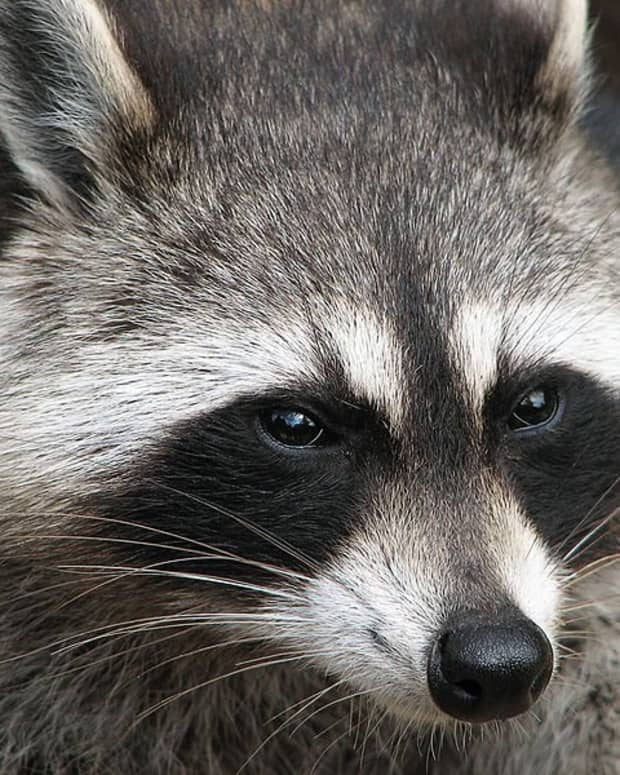how-to-get-rid-of-raccoons-effective-deterrent-methods