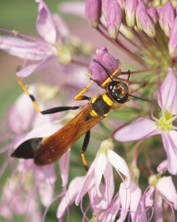 what-are-mud-dauber-wasps-and-should-you-get-rid-of-them