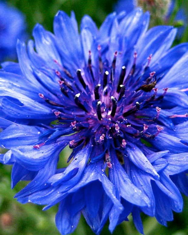 cottage-garden-favorites-bachelors-buttons-cornflowers