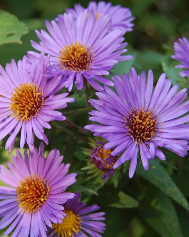fall-color-asters